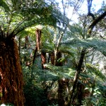 Where the Giant Ferns Grow