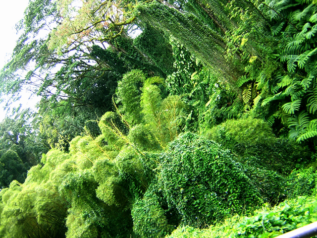 Gorgeous greenery on the way to Akaka Falls