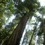 Photo Essay: Exploring My Inner Tree Hugger in Henry Cowell State Park