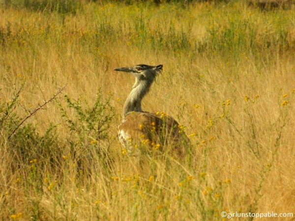 Kori Bustard bird at the Okonjima Nature Reserve in Namibia