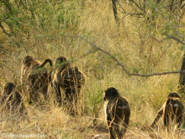 Baboons at Okonjima Nature Reserve in Namibia