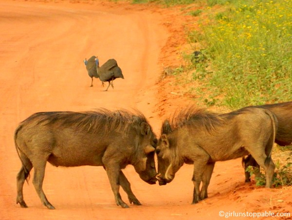 Warthogs fighting at Okonjima Nature Reserve in Namibia