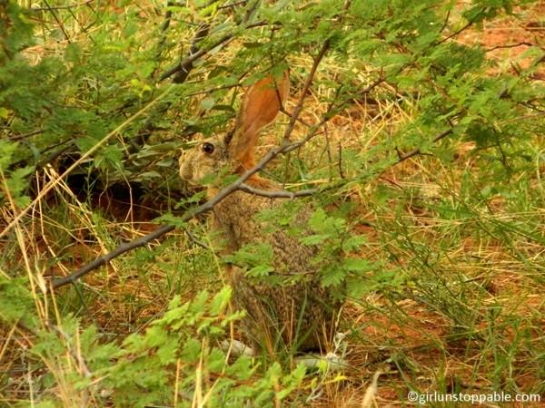 Rabbit at Okonjima Nature Reserve in Namibia
