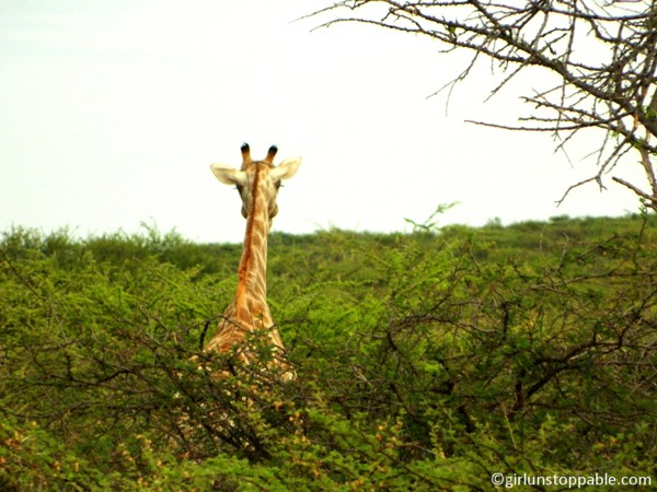 Giraffe at Okonjima Nature Reserve in Namibia