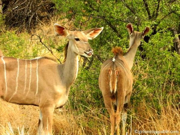 Kudus at Okonjima Nature Reserve in Namibia
