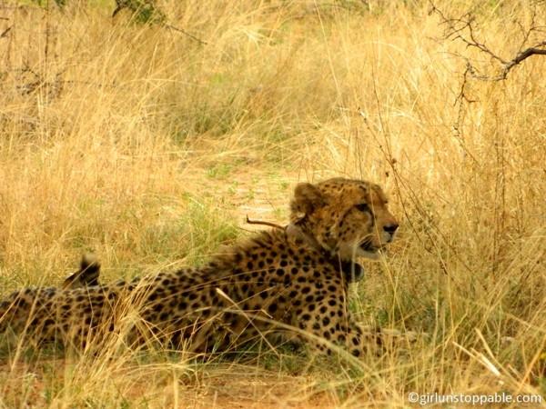 Cheetah at Okonjima Nature Reserve in Namibia