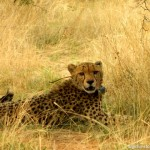 A rescued cheetah in Namibia