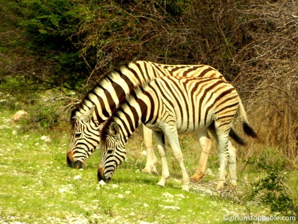 photo essay the wildlife and landscapes of etosha national park  zebras at etosha national park in