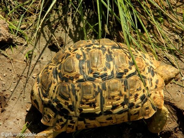 Tortoise in Etosha National Park, Namibia