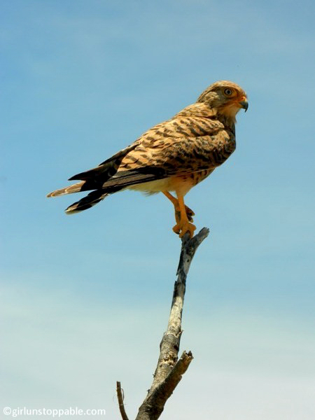 Greater Kestrel bird in Etosha National Park, Namibia