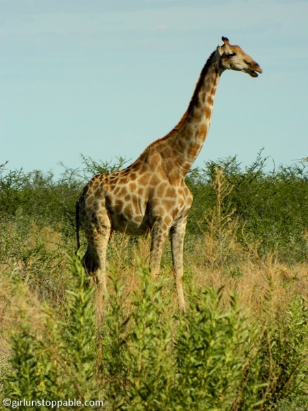 Giraffe at Etosha National Park in Namibia