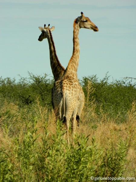 Giraffes at Etosha National Park in Namibia