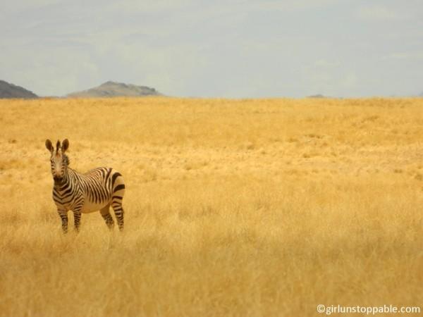 Desert zebra in Namibia
