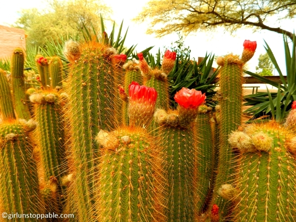 Flowering cacti in Solitaire, Namibia