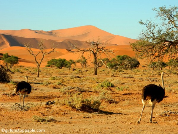 Ostriches in Sossusvlei, Namibia