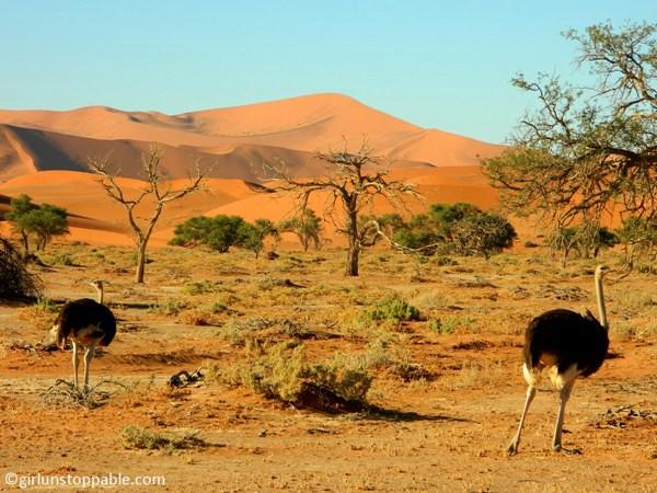 Ostriches in Sossusvlei, Namibia