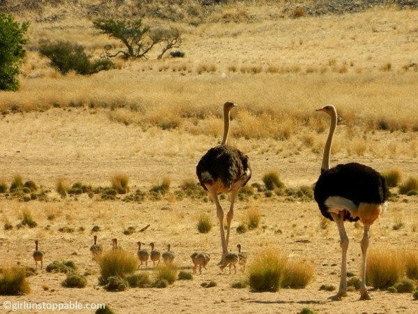 Namibia - Ostrich Family