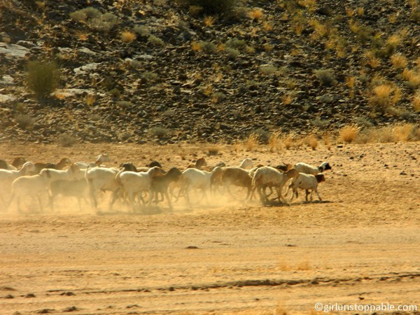 Namibia - Sheep Stampede
