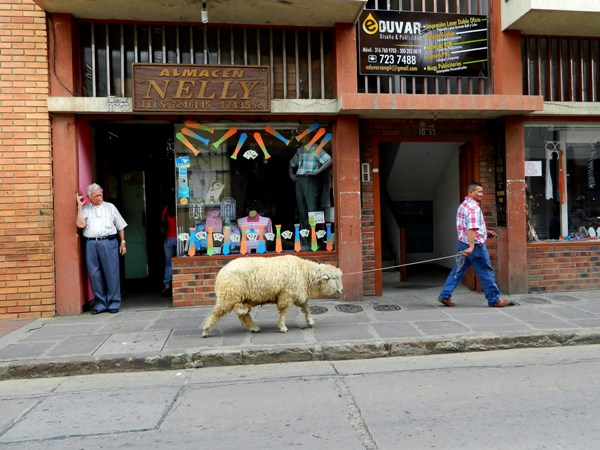 Man walking a sheep in San Gil, Colombia
