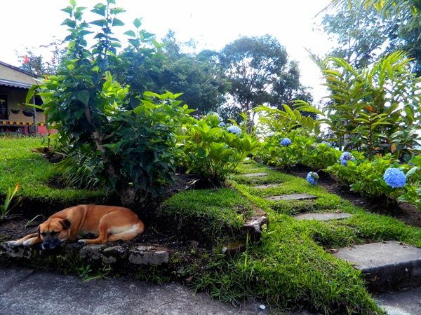 Sleeping dog at La Serrana Hostel in Salento, Colombia