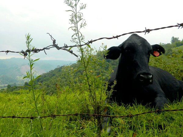 Cow on the countryside of Salento, Colombia