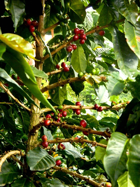 Coffee plant in the Salento, Colombia countryside