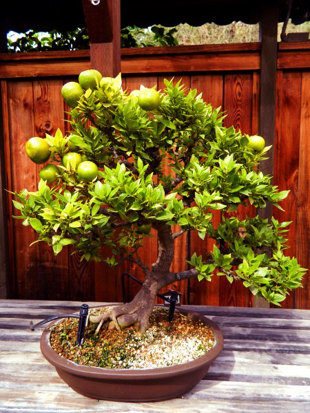 Bonsai Garden, Oakland
