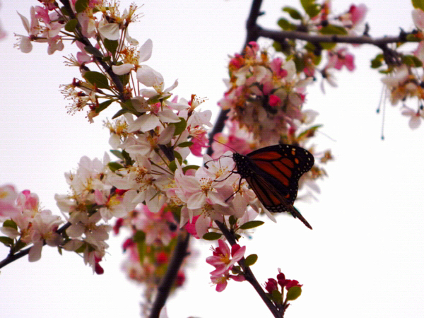 Butterfly and Cherry Blossoms, Oakland