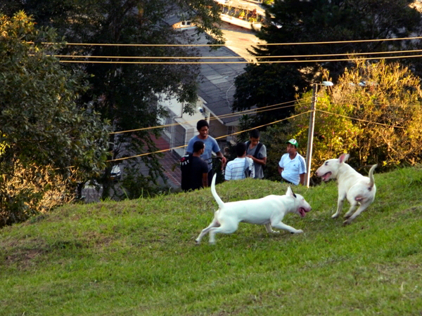 Dogs playing in Popayan, Colombia
